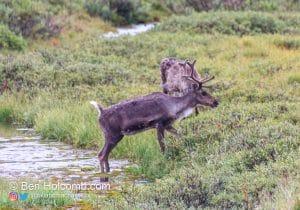 Caribou in Denali