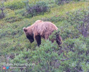 Grizzly Bear in Denali National Park