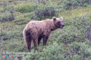 A grizzly bear about 200 yards from our bus in Denali National Park