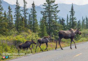 Moose and 2 calves in Denali National Park