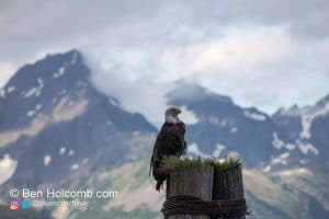 Bald Eagle sits upon a post next to Russurection Bay in Seward, AK