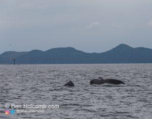 Alaska Humpback Whale