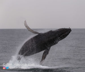 Whale Jumping in the Strait of Juan de Fuca off the coast of Vancouver Island