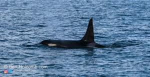 Orca's or Killer Whales in the Strait of Juan de Fuca