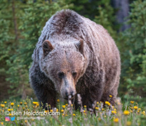 A Grizzly Bear along highway 40 in Peter Lougheed Provincal Park