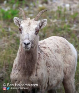 Mountain Goat in Kananaskis Country