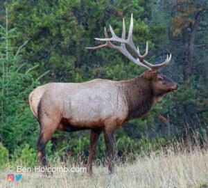 Bull Elk in Jasper National Park