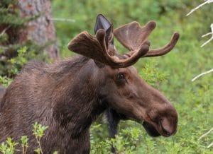Moose I saw