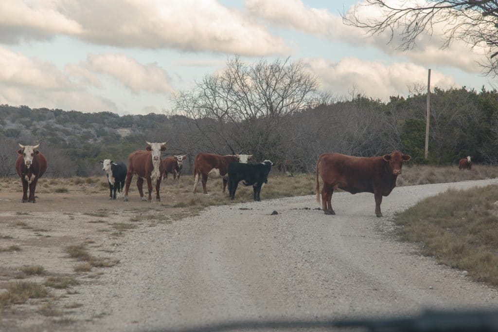 These cows made a mess of the road