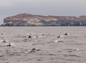 Dolphins and Anacapa Island