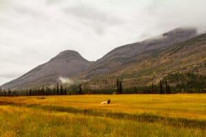 Elk in Jasper NP