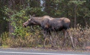 Moose on Moraine Lake Road
