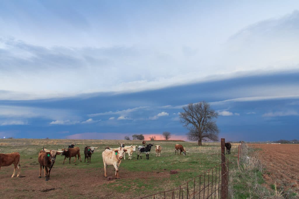 Cows in front of a Shelf Cloud