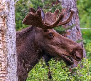 Moose_in_Spray_Lakes_Provincal_Park.jpg