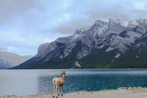 Ram next to Lake Minnewanka