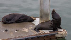 Sea Lions in Oxnard Harbor