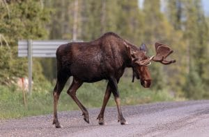 Moose number 2 of the day