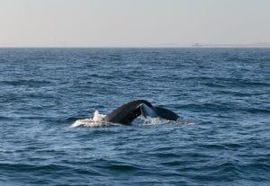 Whale Watching off Newport Beach