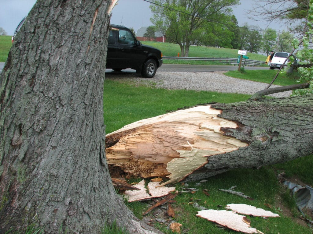Tree_Blown_over_by_Storm.jpg