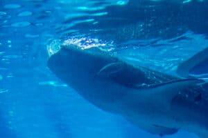 Whaleshark Feeding
